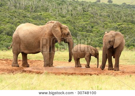 Family of African elephants, South Africa.