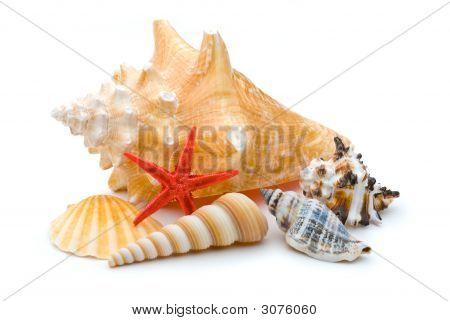 Bright Red Starfish Seastar Among Several Weathered Sea Shells