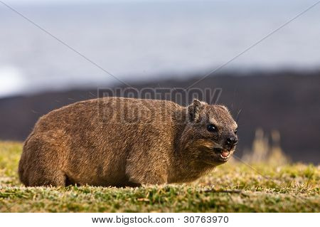 Hyrax Eating Grass
