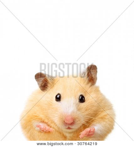 Little funny hamster isolated on white