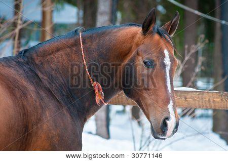 Bucht Pferd auf Winter Fahrerlager