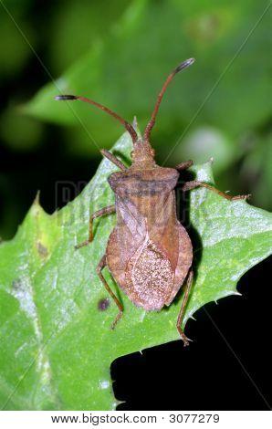 Dock Leaf (Or Squash) Bug