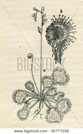 Drosera (sundews) - old illustration by unknown artist from Budowa i Zycie rosliny, author Wladyslaw Kozlowski, publishing house M.Arcta, Warsaw, 1908