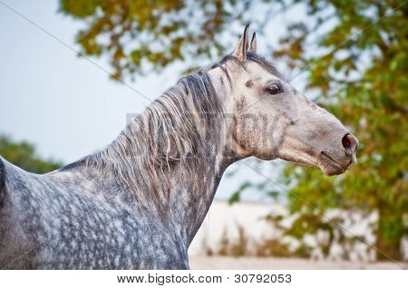 evening portrait gray horse on ranch paddo
