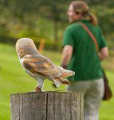 image of screech-owl  - An owl in captivity is watching it - JPG
