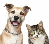 stock photo of fluffy puppy  - Staffordshire terrier puppy and a gray cat - JPG
