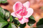 Pink Rose Flower poster