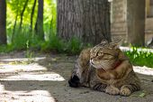 A Beautiful Home Cat Lies On The Ground And Rests Under A Tree In The Shade poster
