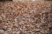 A Lot Of Fall Leaves Covered Ground In Park Of Berlin Germany. Dry Leaf Textures. Brown Oak Leaves A poster