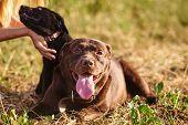 Adult Labrador And Small Labrador Puppy Together On The Grass In The Park For Any Purpose poster