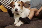 Furry Jack Russell Dog And Child, Shedding Hair During Molt Season Playing On Sofa With Dirty Socks. poster