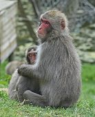 Snow Monkey Or Japanese Macaque With Baby, Taken In Enclosure poster