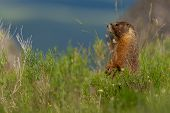 Curious Marmot Stands Up In Green Field With Copy Space poster