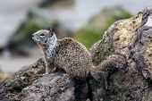 Furry Ground Squirrel Climbing Over The Beach Rocks In Search Of The Next Meal. poster