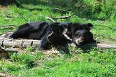 Asiatic Black Bear (ursus Thibetanus) Is Resting In The Grass poster