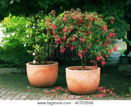 Standard (tree) Fuchsia Plant