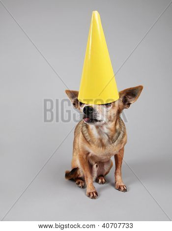 a cute birthday chihuahua on a gray background