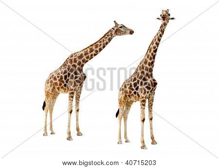 Giraffe Couple Cutout