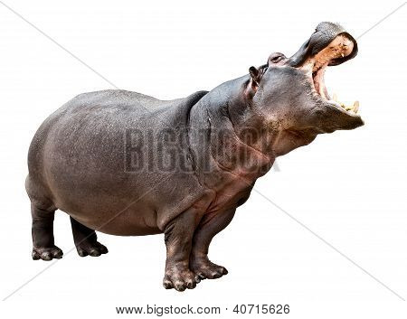 Hippopotamus Opened The Mouth
