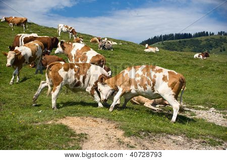Fighting Cows