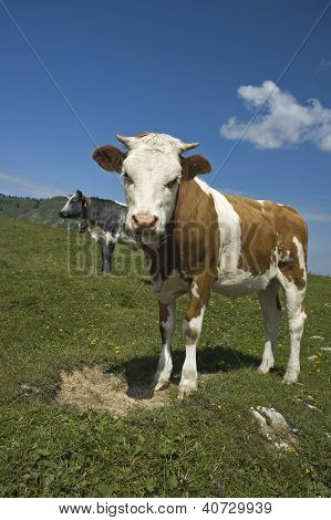 Calf in the Pasture