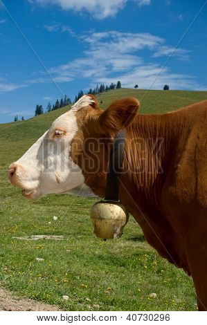 Simmental Cow with Bell