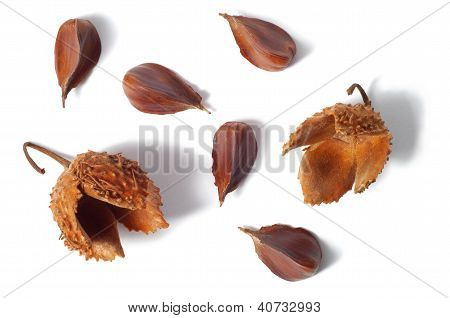 Common Beech Nuts