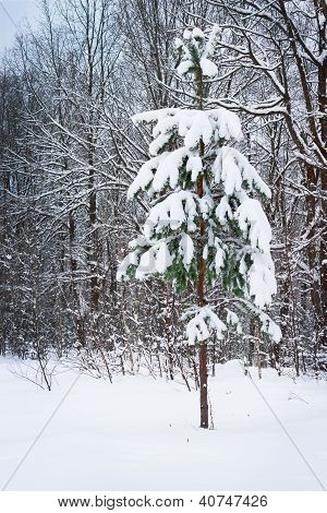 Young Pine Tree Covered With Snow