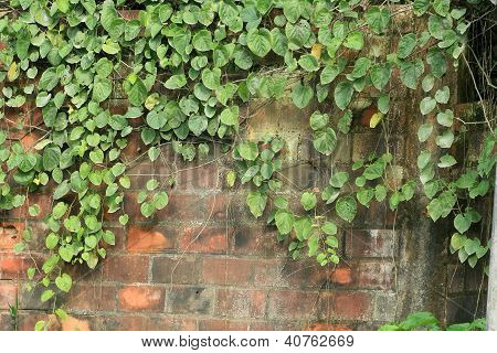Vines on a Brick Wall