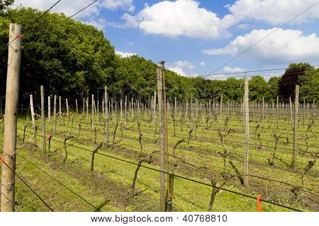 View Across A Dutch Vinyard Surrounded By Trees