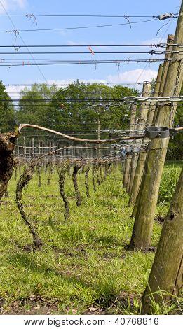 Dutch Vinyard In The Spring
