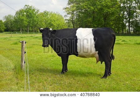 Belted Galloway Cow With Distinctive White Stripe