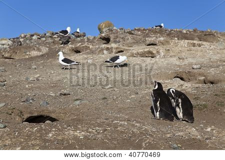 Couple Of Magellanic Penguins And Some Seagulls