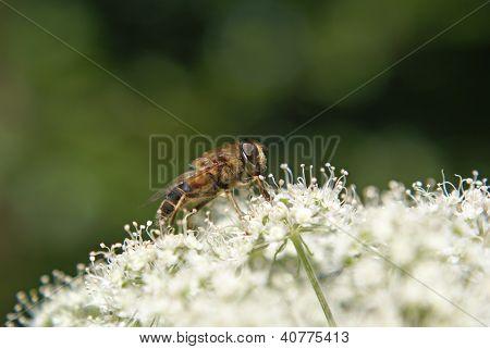 Drohne (apiformes - Biene)