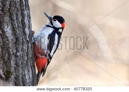 Dendrocopos Major, Great Spotted Woodpecker.