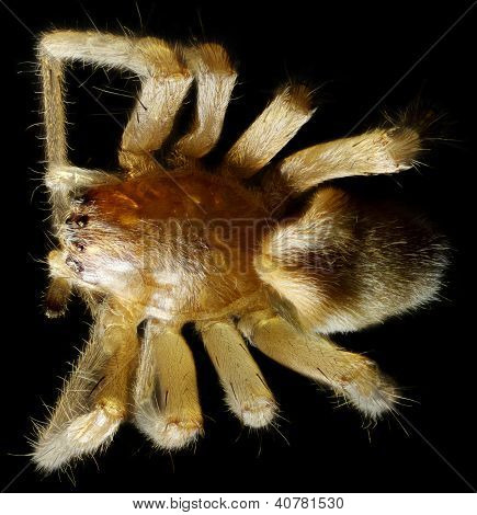 Spider Under The Microscope (araneae, Arane)