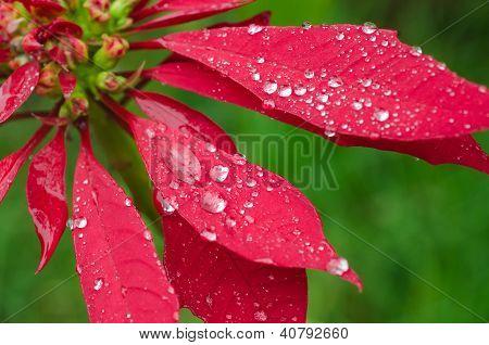 Raindrops On A Poinsettia