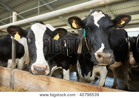 milch cows during milking at barn stall in farm