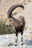 stock photo of nubian  - Nubian ibex in Ein Gedi at the Dead Sea - JPG