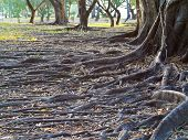 stock photo of land-mass  - Group of tree with mass root system above the ground in forest - JPG
