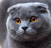 stock photo of scottish-fold  - A cat breed named Scottish Fold with fabulous eyes - JPG