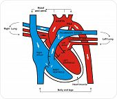 foto of coronary arteries  - Heart And Circulatory System - JPG