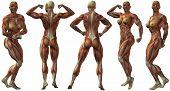 Постер, плакат: Анатомия женского человека культурист