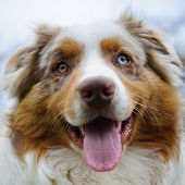 picture of australian shepherd  - Australian Shepherd cute face look from closeup view - JPG