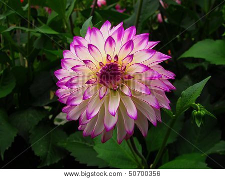 Purple And White Dahlia