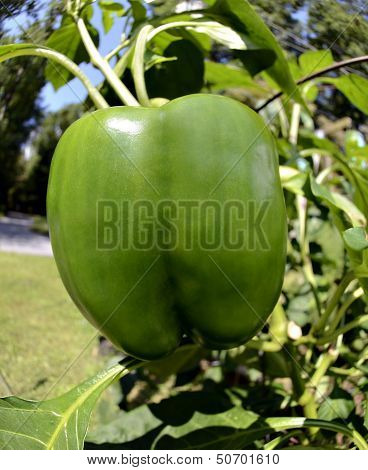 Green Bell Pepper Growing In A Garden