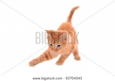 Orange Tabby Playing