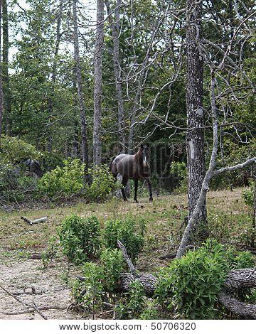 Wild Spanish Mustang
