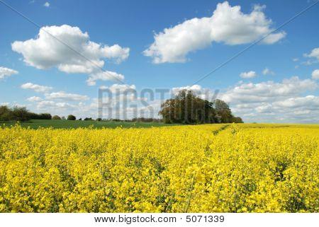 Rape Seed Field 2