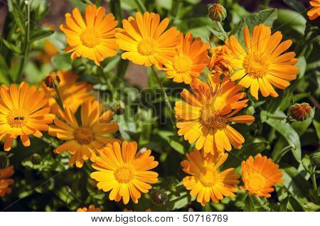 Calendula Medical Herb Marigold Flowers In The Meadow